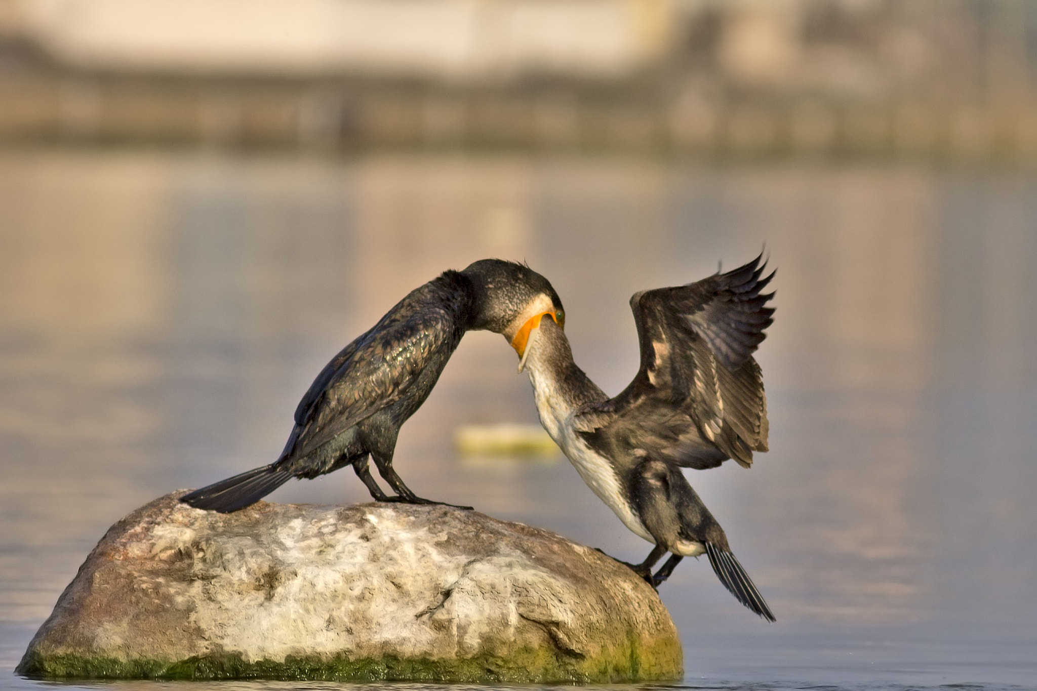 Photograph MOTHER NATURE - CORMORANT FEEDING ITS CHIC by Iqbal Siddiqui on 500px