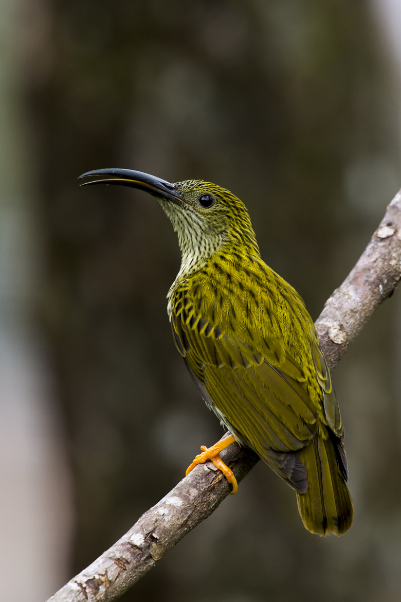 Photograph Streaked Spiderhunter by Allan Seah on 500px