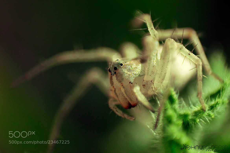 Photograph Lynx Spider MAcro by Jishnu Satheesh Babu on 500px