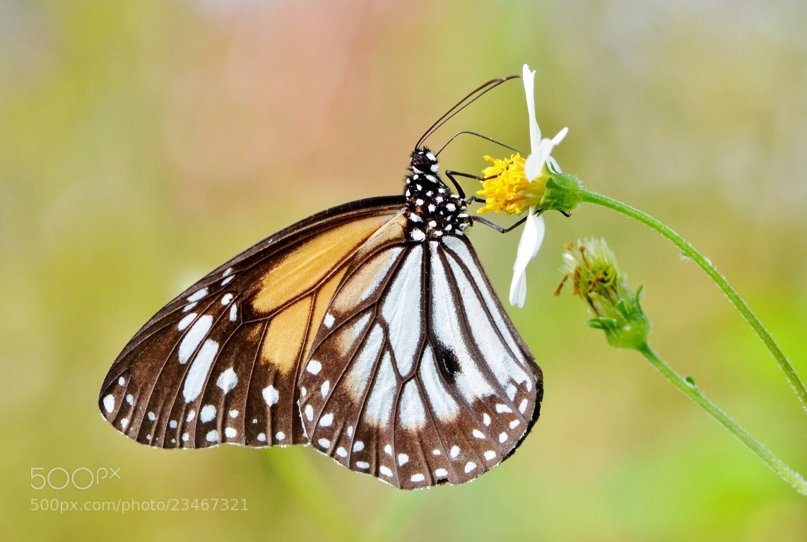 Photograph Black Veined Tiger Macro by Terence Kok on 500px
