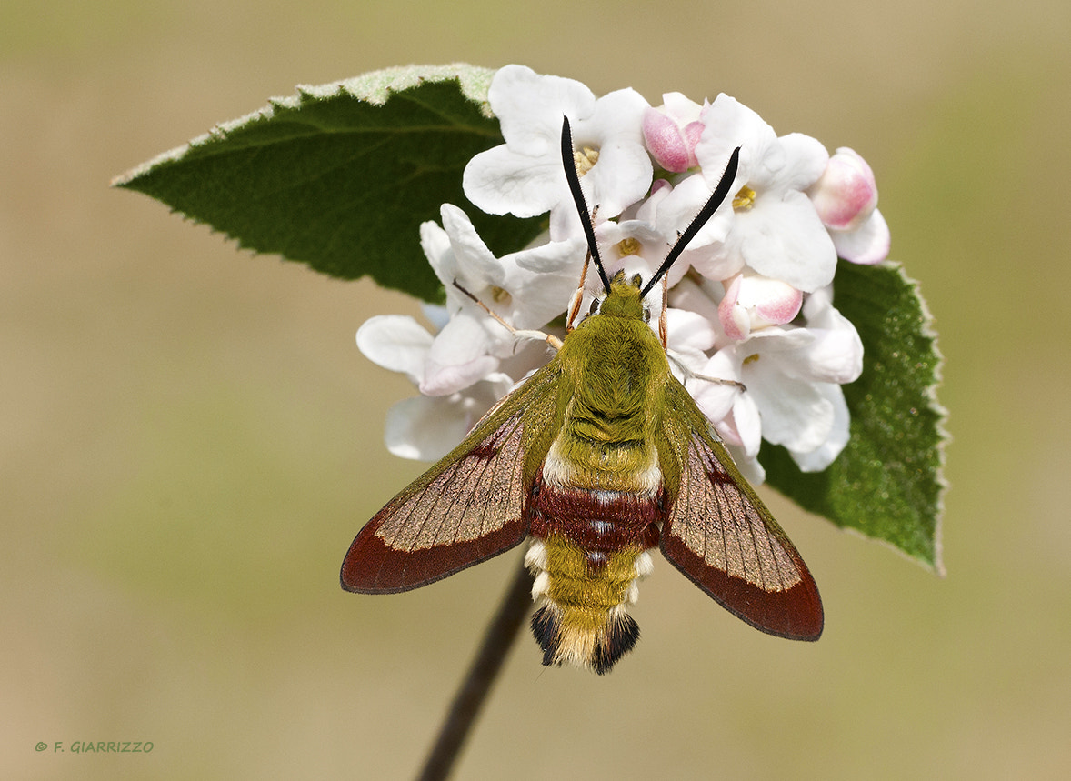 Photograph Tiny hawkmoth by Fabio Giarrizzo on 500px