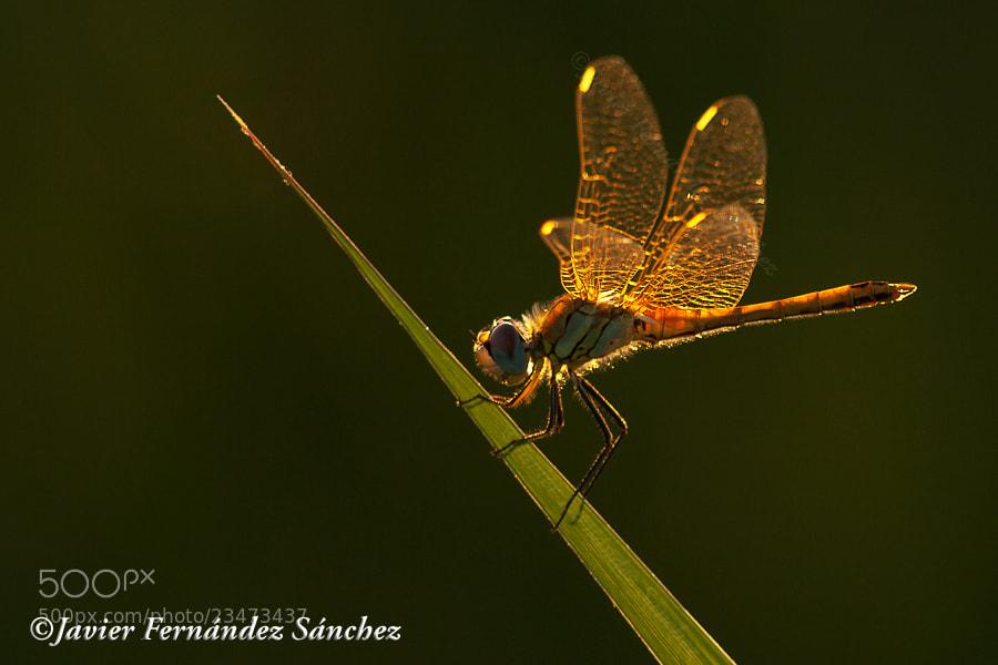 Photograph Dragonfly by Javier Fernández Sánchez on 500px