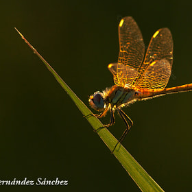 Dragonfly by Javier Fernández Sánchez (JFS)) on 500px.com