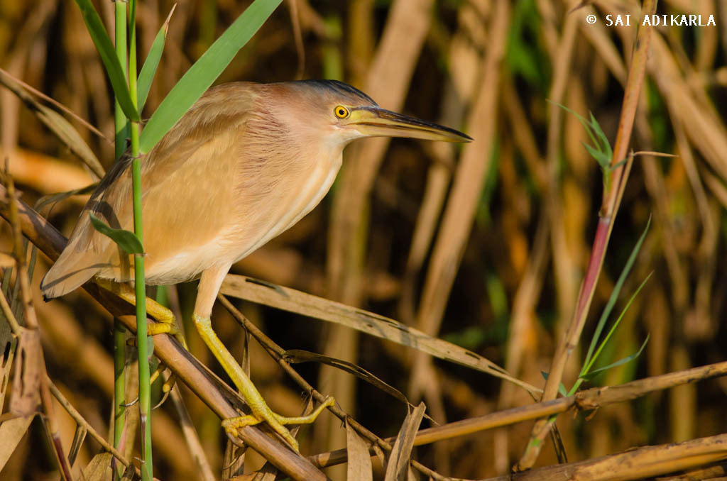 Photograph Yellow Bittern by Sai Adikarla on 500px