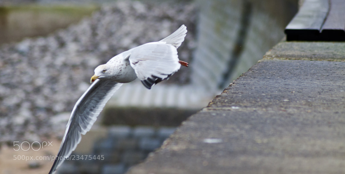 Photograph Seagull in Le Tréport by Krol  Marc Antonio on 500px