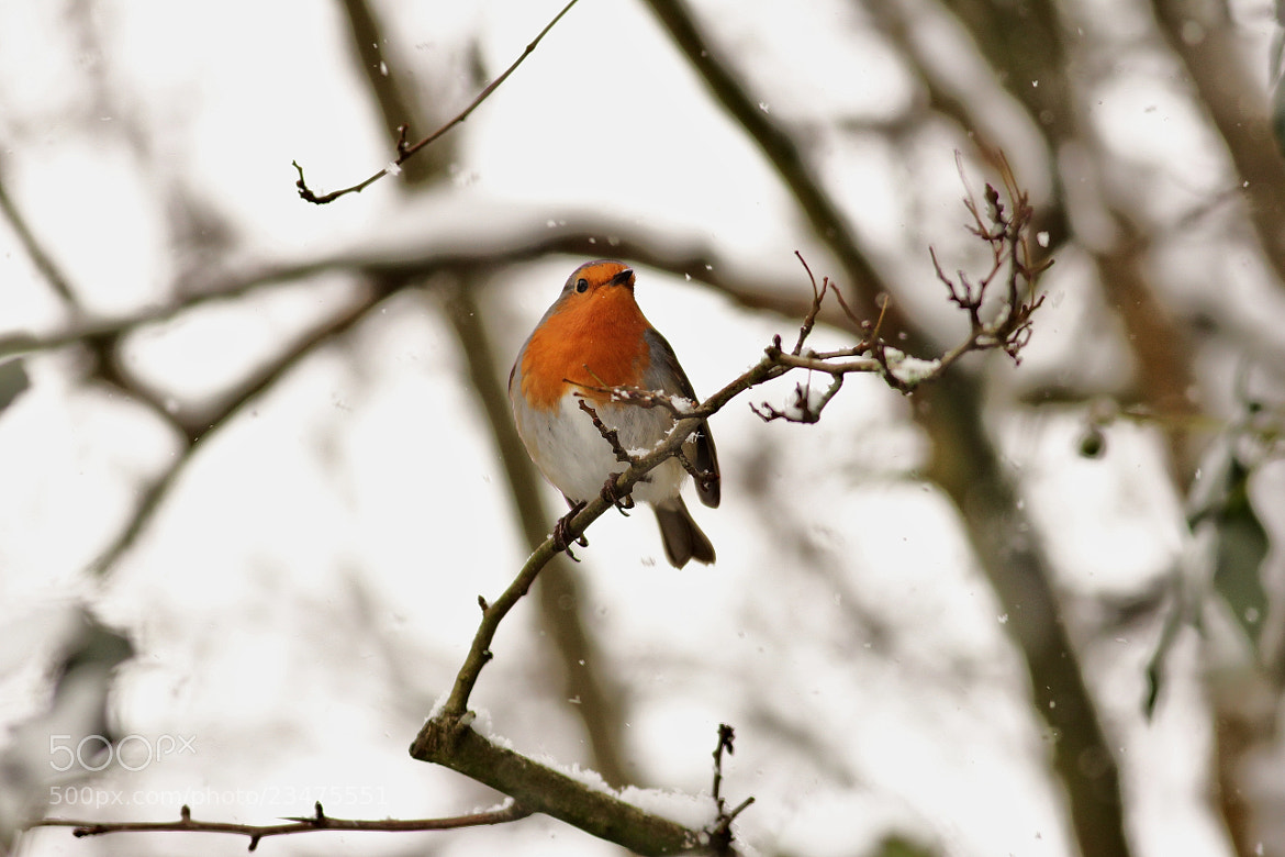 Photograph Robin in the snow by James Gill on 500px