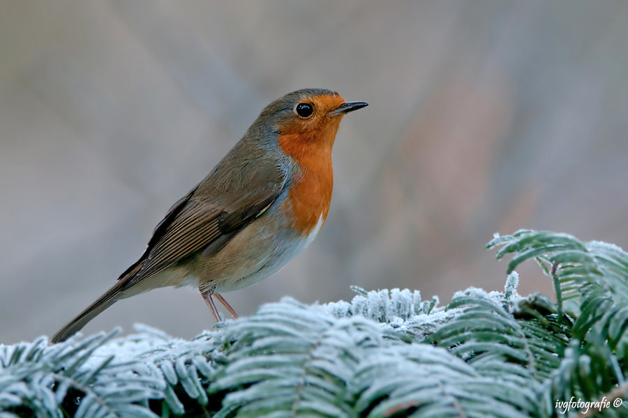 Photograph Robin by Ivonne van Gool on 500px