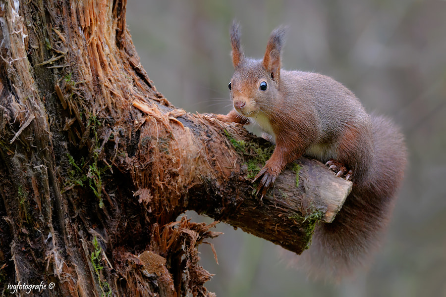 Photograph Red squirrel by Ivonne van Gool on 500px