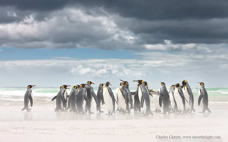 Photograph King Penguins by Charles Glatzer on 500px