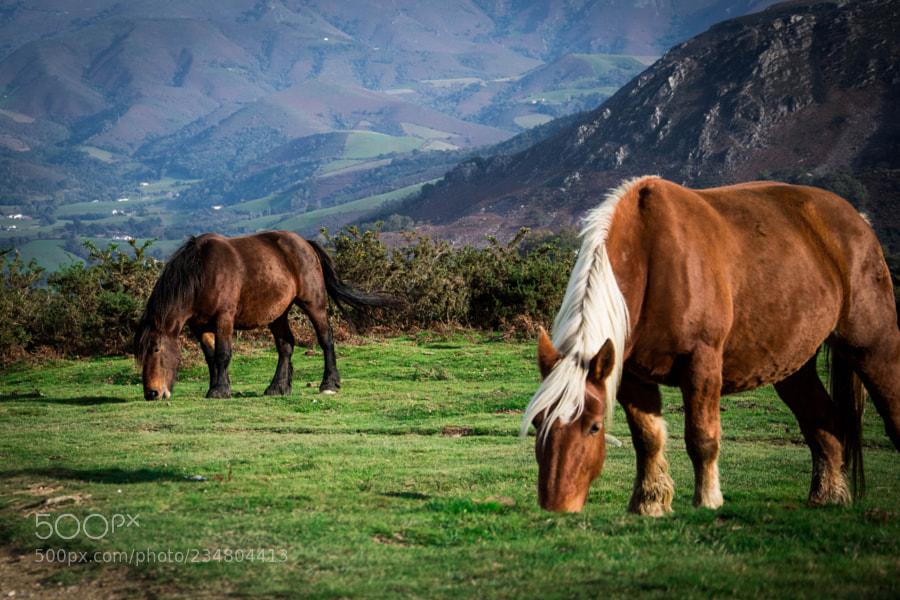 Basque's horses