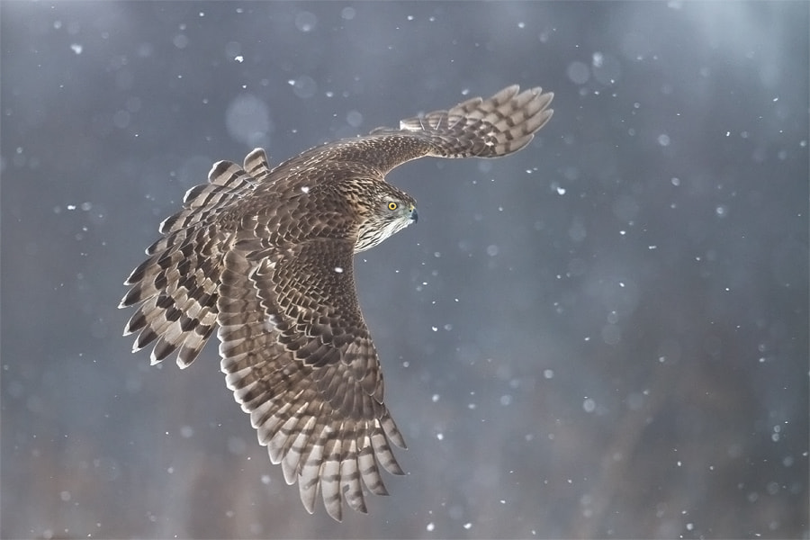 Photograph Goshawk in blizzard by Marcin Perkowski on 500px