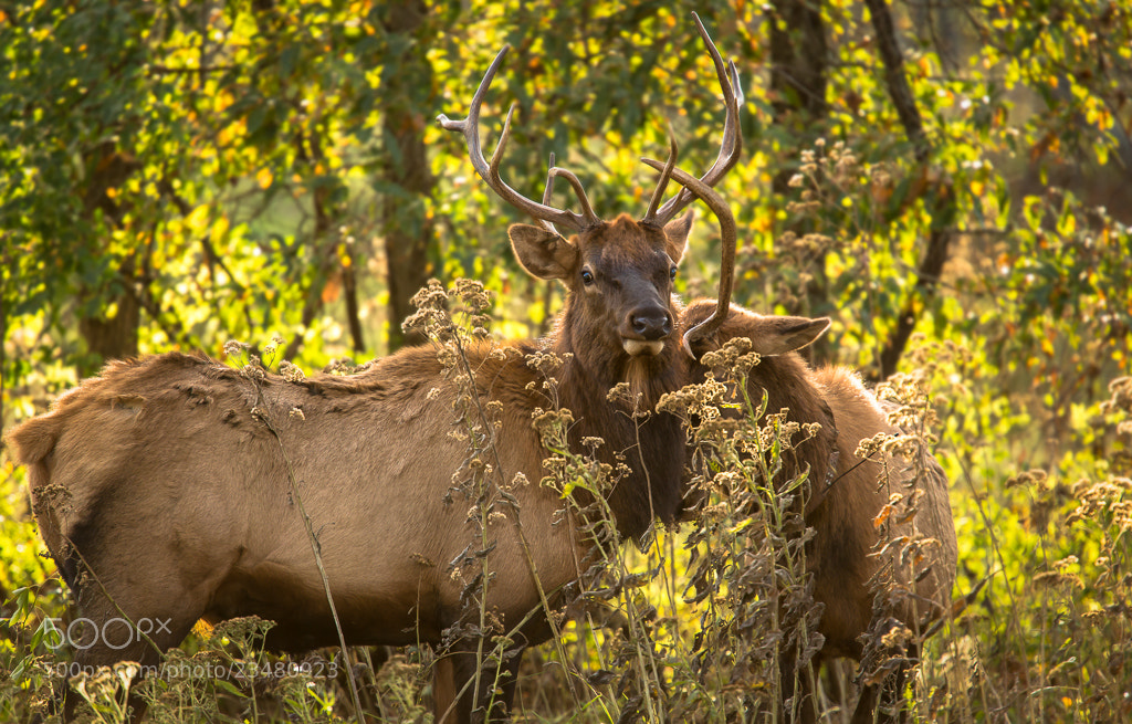 Photograph Elk by Eric Henderson on 500px