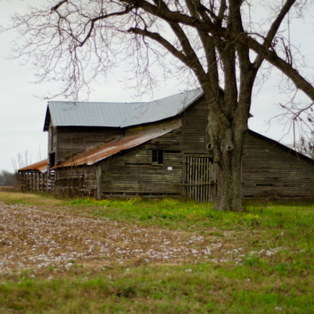 Pecan Trees with Barn