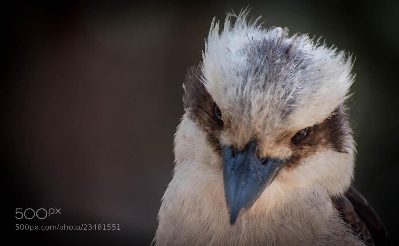 Photograph Kookaburra by Martijn Akse on 500px
