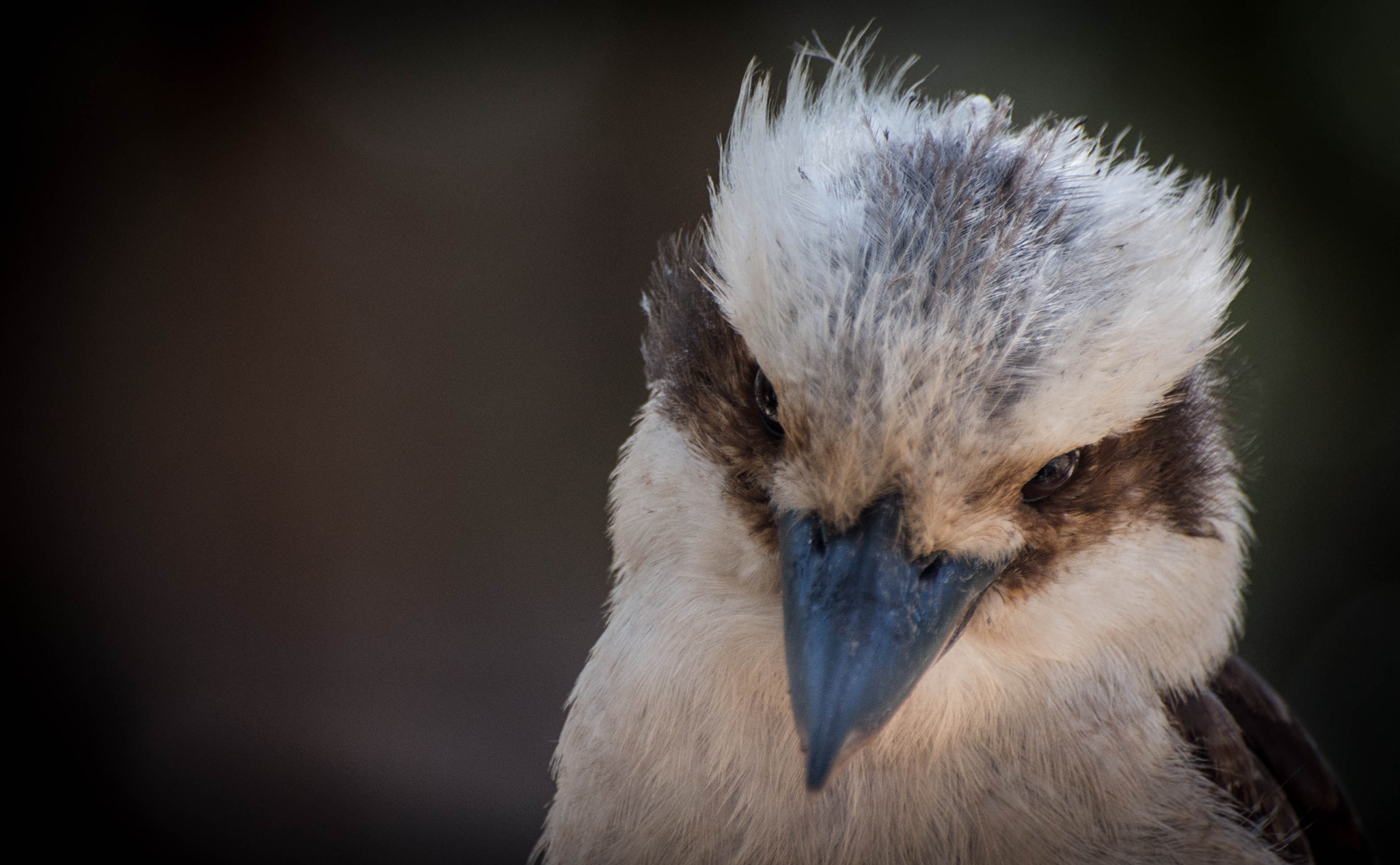 Photograph Kookaburra by Martijn Akse on 500px