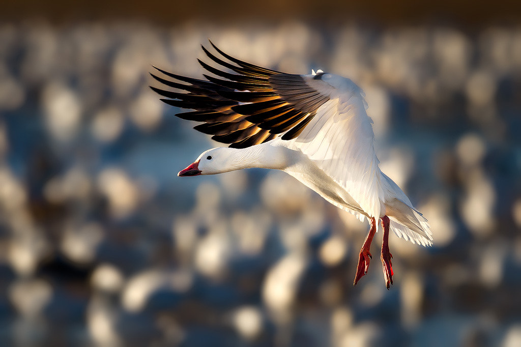 Photograph Snow Goose Air Suspension by Steve Perry on 500px