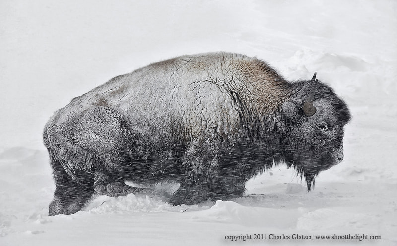Photograph Bison in blizzard by Charles Glatzer on 500px