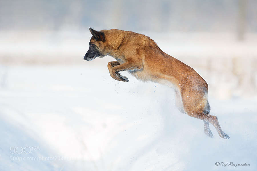 Photograph Belgian Shepherd Dog (Malinois) by Raf Raeymaekers on 500px