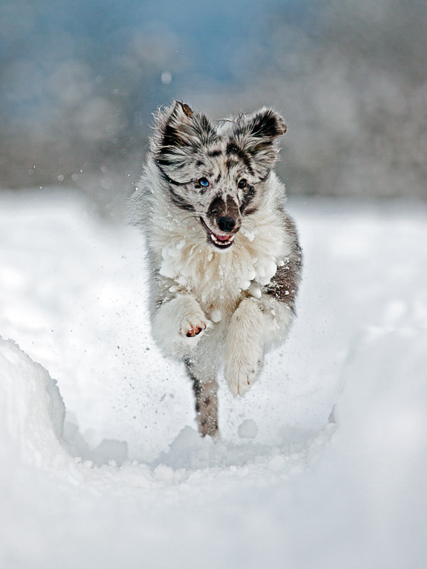 Photograph Sheltie in Snow by Miha Mozer on 500px