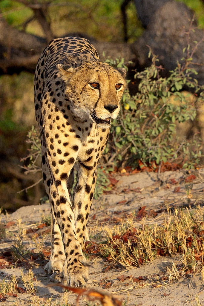 Photograph Cheetah by Thomas Retterath on 500px