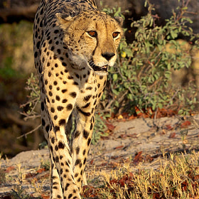 Cheetah by Thomas Retterath (Thomas77)) on 500px.com