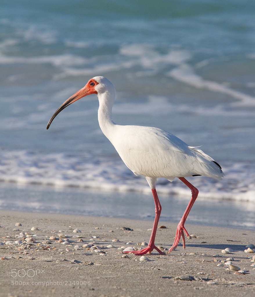 Photograph White Ibis by Phil Armishaw on 500px