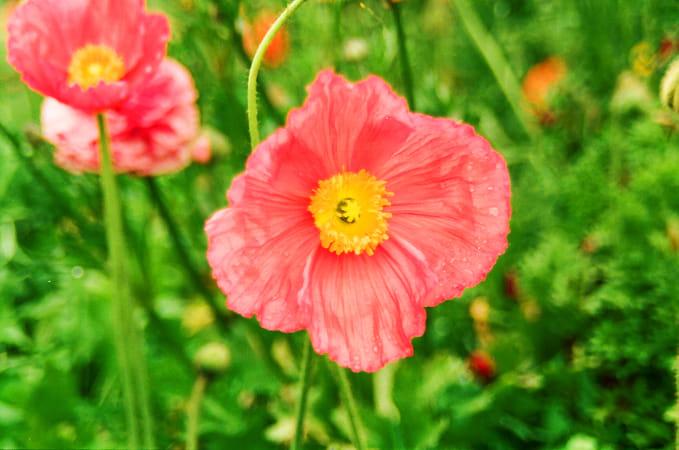 Carlsbad Flower Field 1