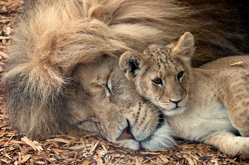 Photograph Lion & Cub by Paul Mansfield on 500px