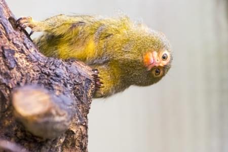 Pygmy Look
