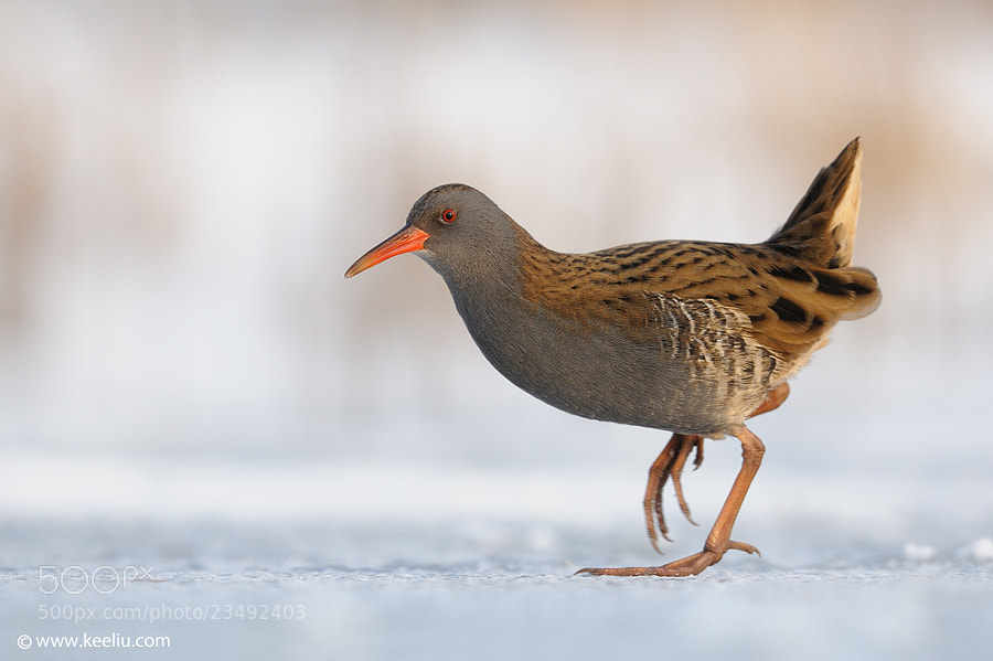 Photograph Water Rail by Kee Liu on 500px