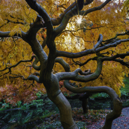 japanese maple tree in yellow