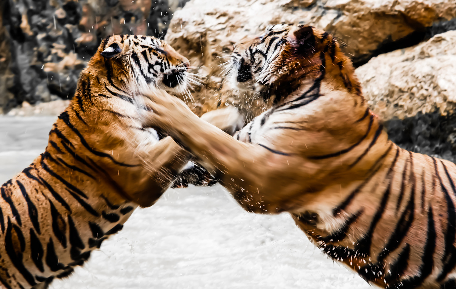 Photograph Tigers fight by Doug Wheller on 500px