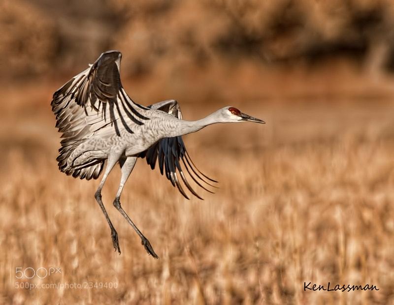 Sandhill Crane at Bosque Del Apache NWR, New Mexico