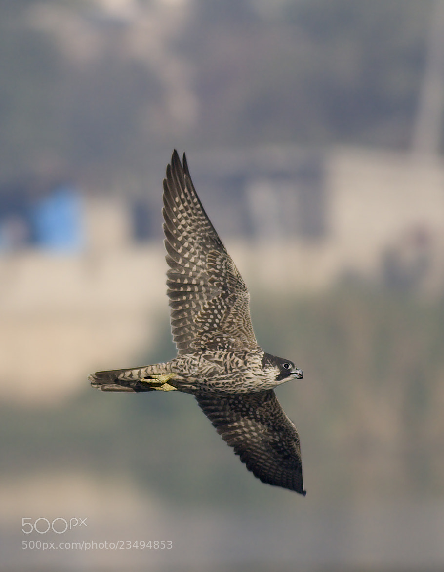 Photograph Peregrine Falcon in pursuit by Pankaj Ratna on 500px