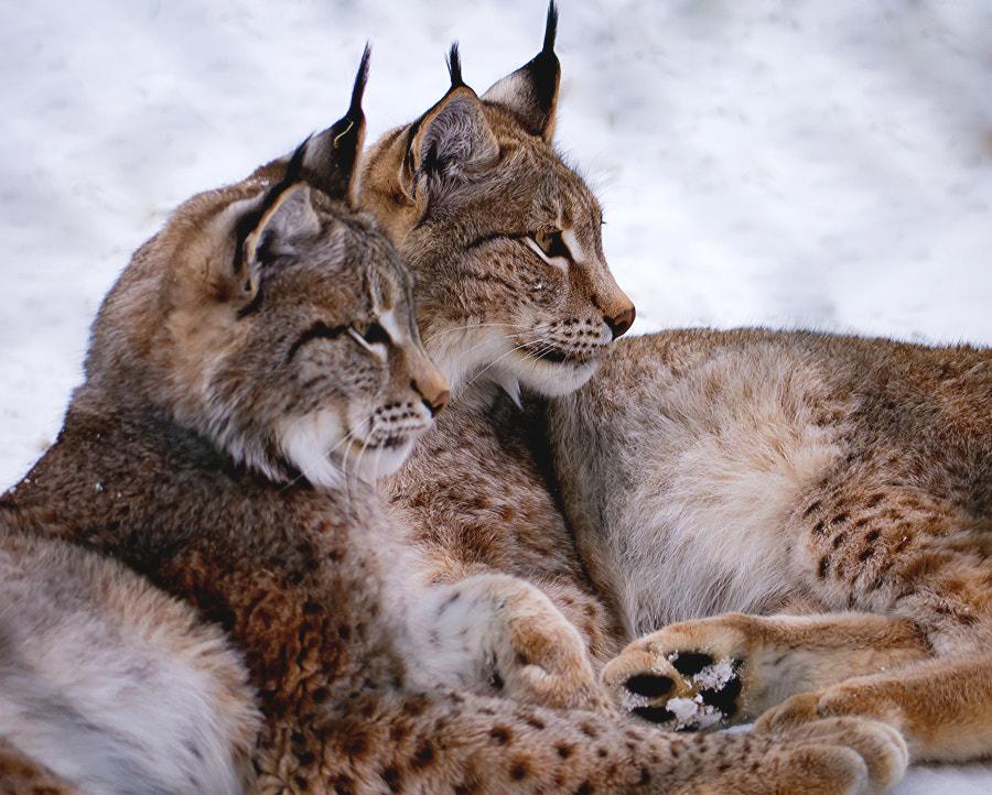 bobcats :: luchse