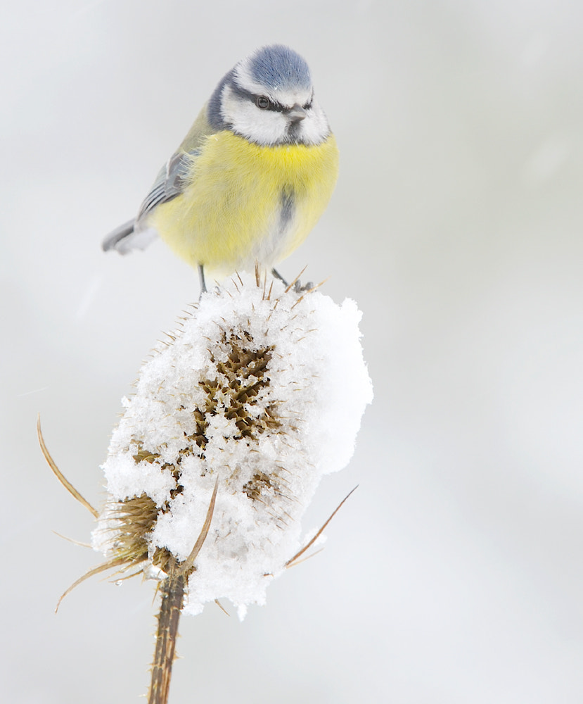 Photograph Blue tit by Kevin  Keatley on 500px