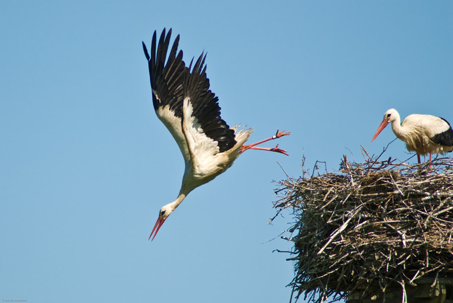 stork seen in northern Germany