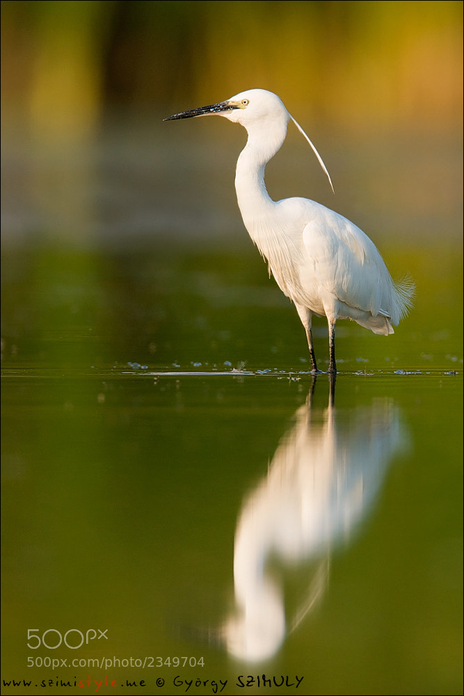 Photograph Little Egret (Egretta garzetta) by Gyorgy Szimuly on 500px