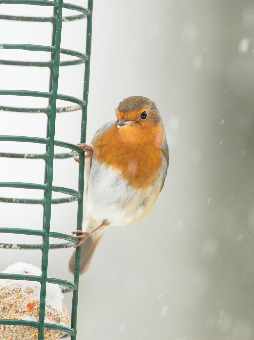 Photograph Robin in the snow 2 by steven  whitehead on 500px