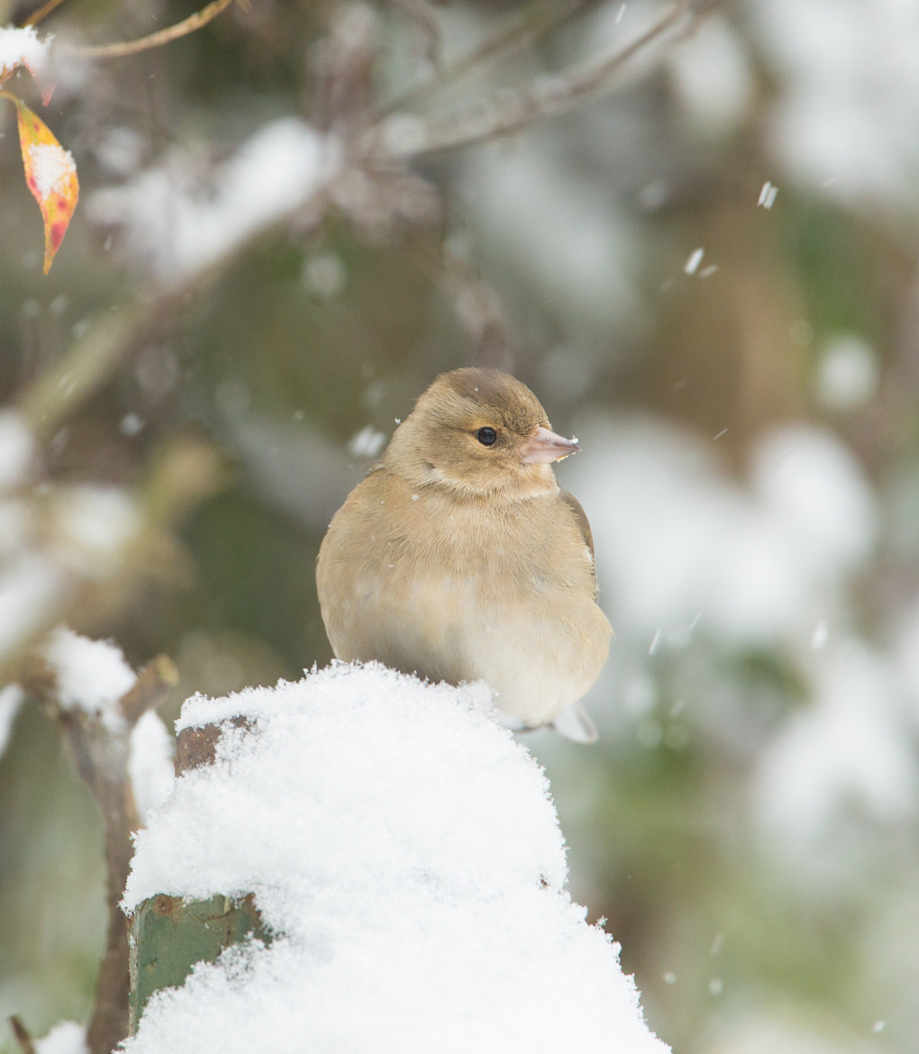 Photograph Chaffinch with cold feet by steven  whitehead on 500px