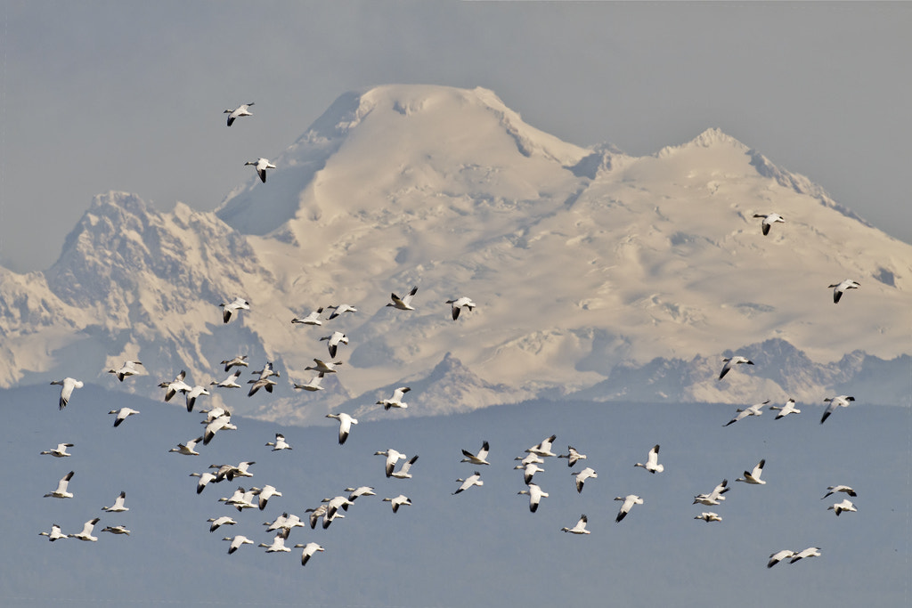 Photograph Snow Geese & Mount Baker by Duke Coonrad on 500px