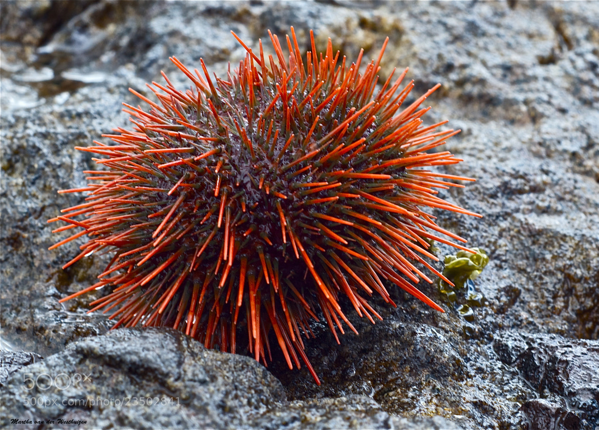 Photograph A Red Sea Urchin by Martha van der Westhuizen on 500px