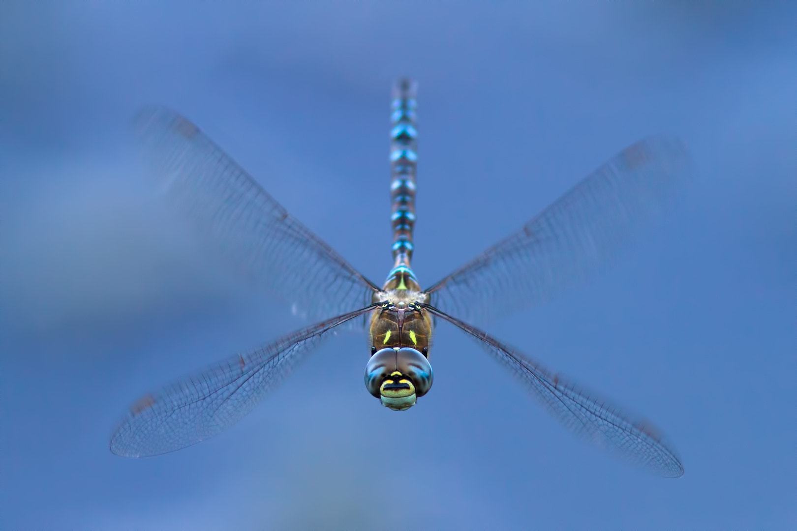 Photograph Hawker in Blue by Martin Černý on 500px