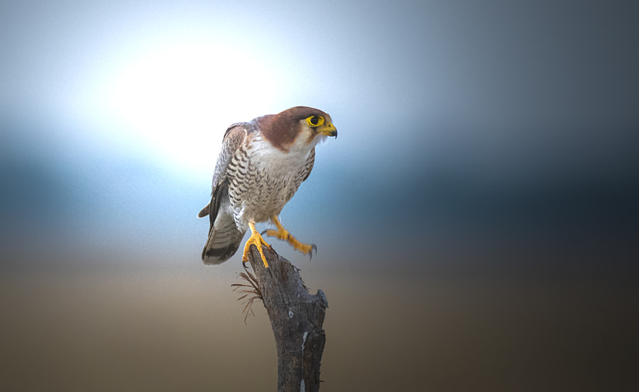 Red Necked Falcon by Rajbir Sunny Oberoi