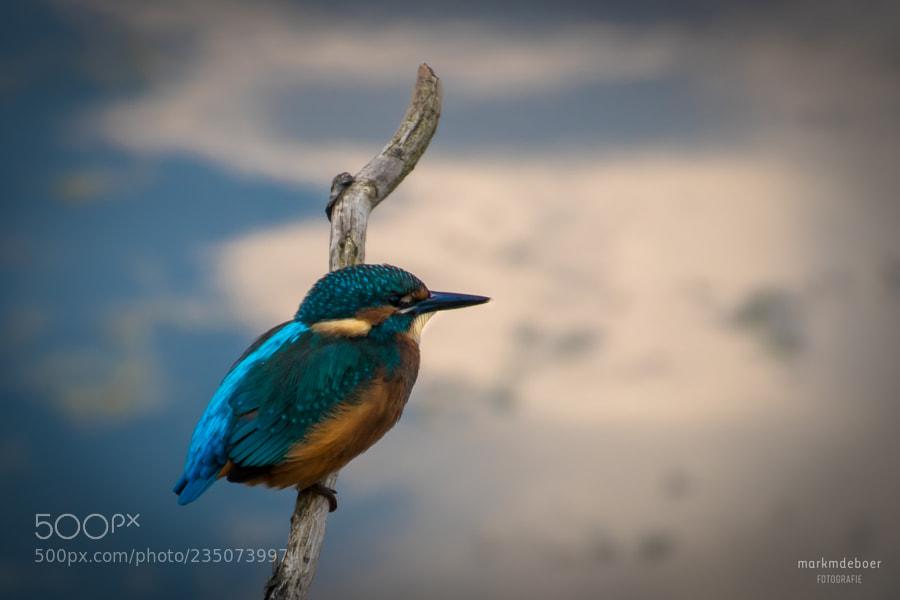 Kingfisher @ Oostvaardersveld