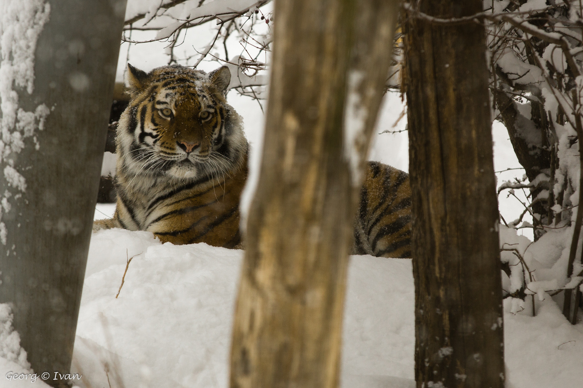 Photograph Snow Tiger I by Georg Ivan on 500px