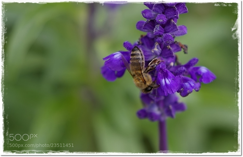 Photograph Sweet little bee by ade_frbw on 500px