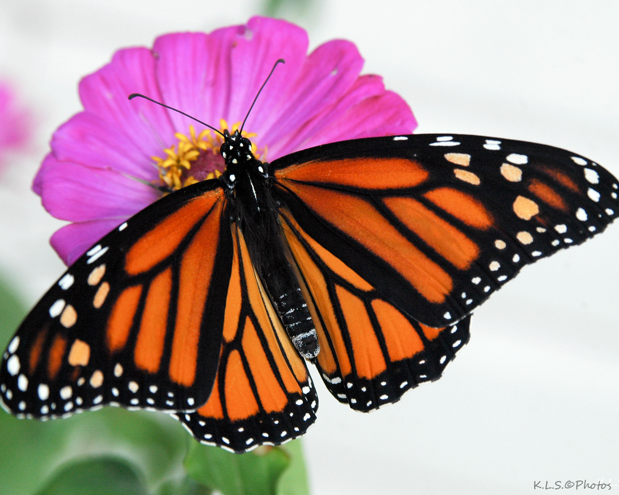 Photograph Last of the Monarchs by Ken Shuster on 500px