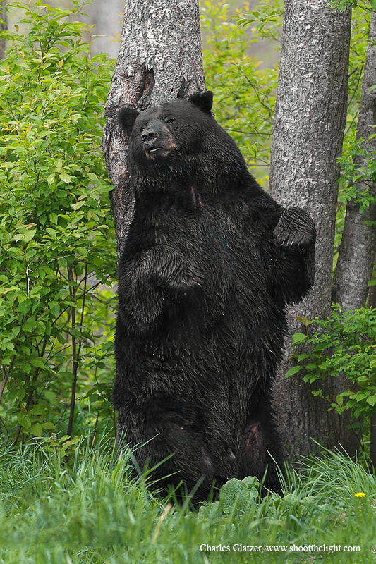 Photograph Black bear scent marking by Charles Glatzer on 500px