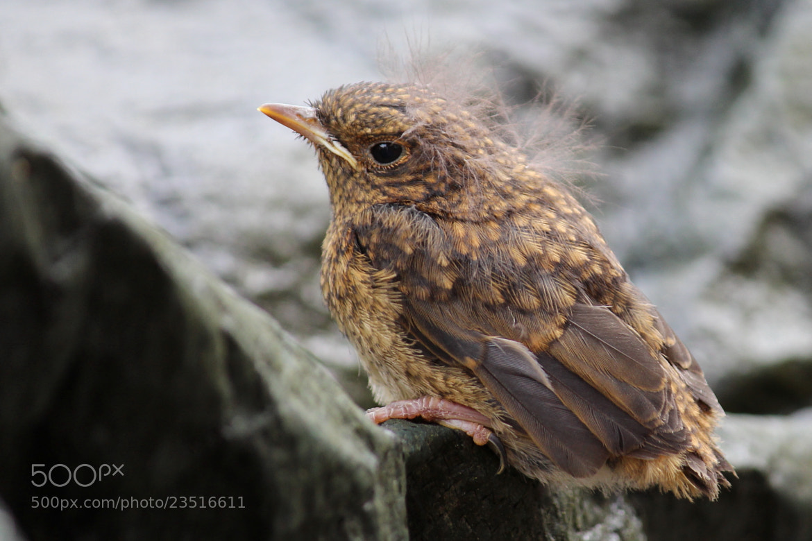 Photograph Fledgling by mikepurvis on 500px